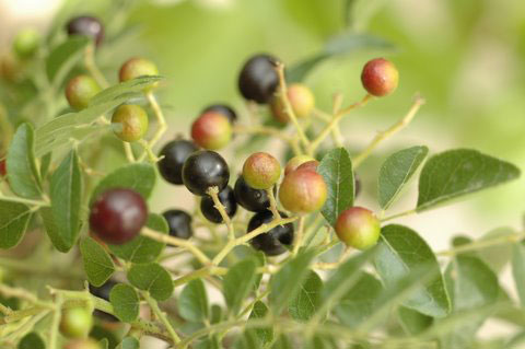 Curry leaf berry