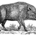 european-wild-boar