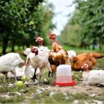 csirke kert alemitta2